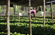 Puratos Launches New Agroforestry Initiative To Support Cocoa Farmers.